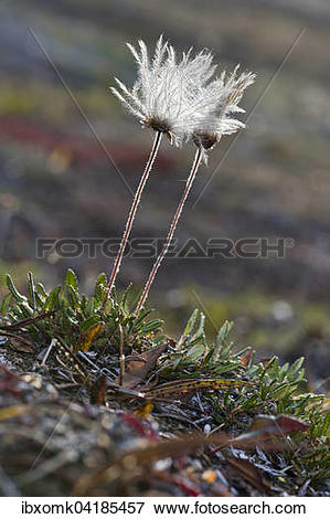 Picture of Mountain Avens (Dryas octopetala), seed head, Kejser.