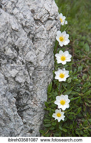 "Picture of ""Mountain Avens and White Dryas (Dryas octopetala."