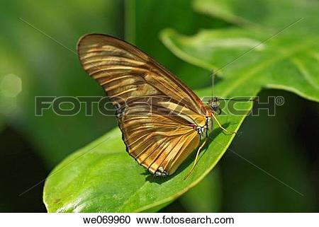 Stock Photography of Dryas julia butterfly native to Brazil.