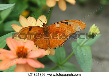 Stock Images of Julia Butterfly aka Dryas iulia k21821396.