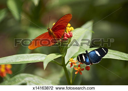 Stock Photo of Dryas iulia and Sara Longwing (Heliconius sara.