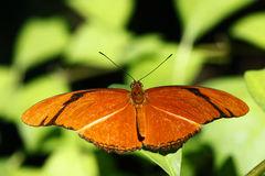 Julia Butterfly (Dryas Iulia) Royalty Free Stock Image.