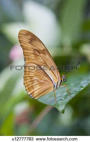 Stock Photo of Julia butterfly (Dryas iulia) resting on leaf.