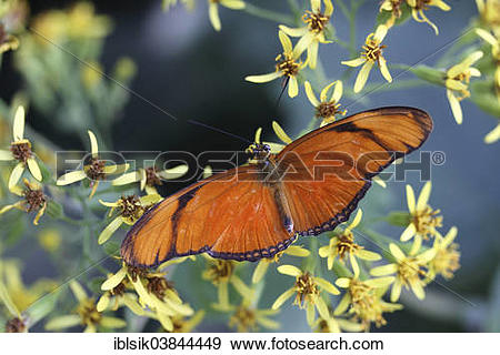 """Stock Photograph of """"Julia Butterfly, Julia Heliconian or The."""
