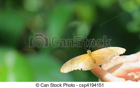 Stock Photography of Julia Butterfly (Dryas iulia).
