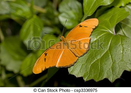Stock Images of Julia Longwing Butterfly (Julia Heliconian, Dryas.