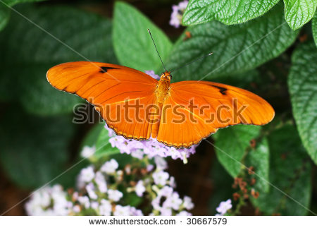 Dryas Julia Stock Photos, Images, & Pictures.
