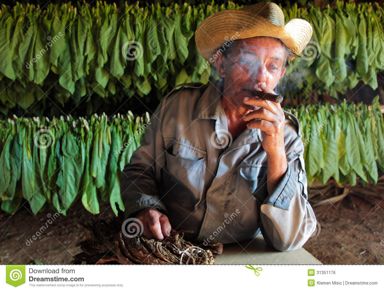 Tobacco Farmer In His Drying Shed With Fresh Tobacco Leaves In B.