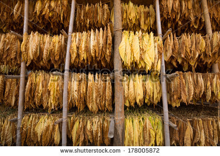 Tobacco Leaves Drying Shed Stock Photo 194524280.