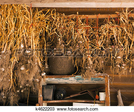 Stock Photo of Garlic In The Drying Shed k4622203.
