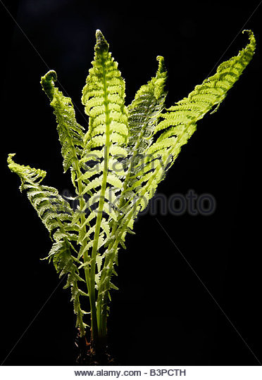 Fern Leaves Stock Photos & Fern Leaves Stock Images.