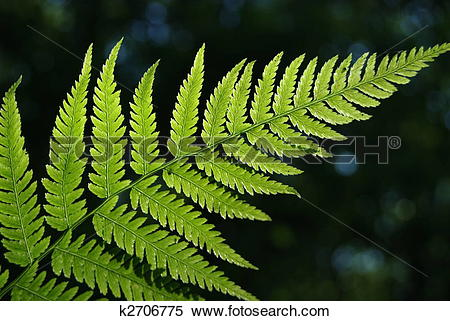 Stock Image of Leaves of fern.