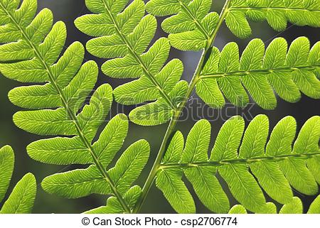 Stock Photo of Leaves of fern.
