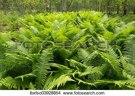 "Stock Photo of ""Male Fern (Dryopteris filix."