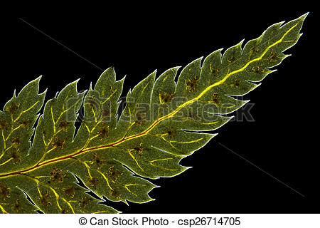 Stock Photography of Broad buckler fern (Dryopteris dilatata) leaf.