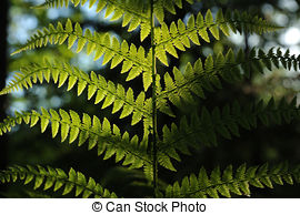 Pictures of Male fern (Dryopteris filix.