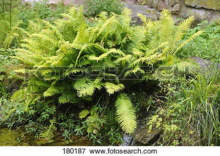 Picture of Common Male Fern (Dryopteris filix.