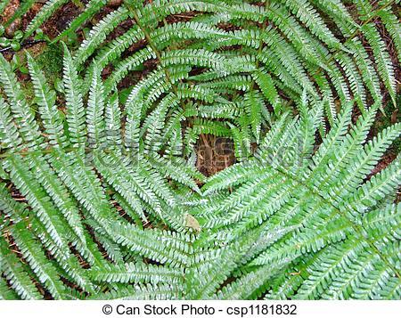 Stock Photo of Dryopteris filixmas.