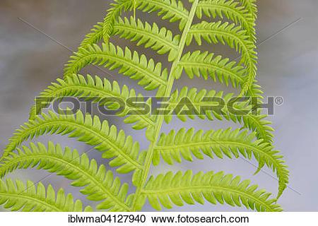 Stock Photography of Male Fern (Dryopteris filix.