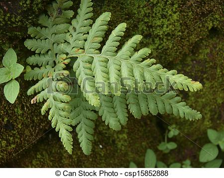 Pictures of Spiny Wood Fern, Dryopteris expansa, Spreading wood.