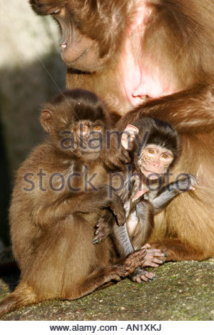 Old Baboon Stock Photos & Old Baboon Stock Images.