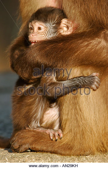 Charming Ape Stock Photos & Charming Ape Stock Images.