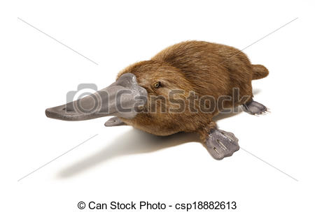 Platypus Illustrations and Clip Art. 291 Platypus royalty free.