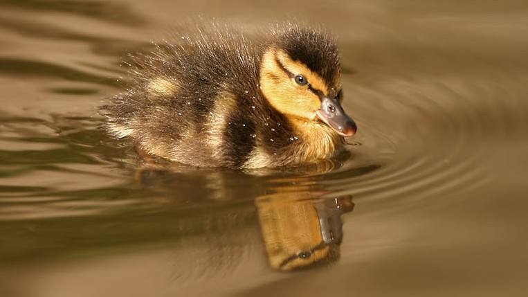 The RSPB: Birds & wildlife: Mallards and their ducklings.