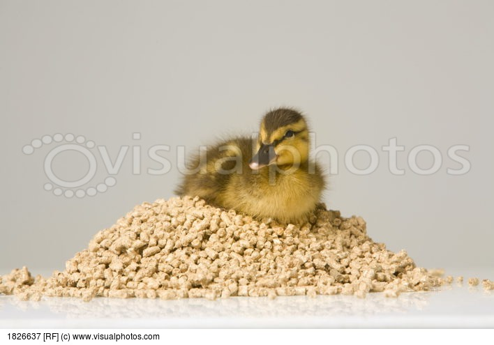Duckling Sitting On A Pile Of Food Pellets.