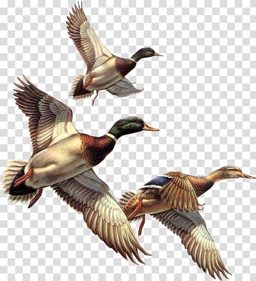 Bird Swan Cat Blog, Ducks , low.