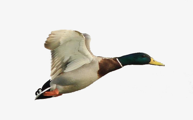 Flying Mallard Duck Png & Free Flying Mallard Duck.png Transparent.