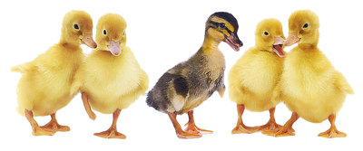 Ducks In A Row Clipart Clipground