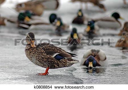 Stock Photo of ducks in winter k0808854.