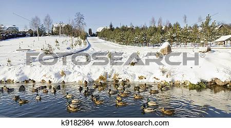 Stock Photo of Ducks on winter lake k9182984.