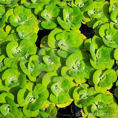 Duckweed On The Water. Background Stock Photo.