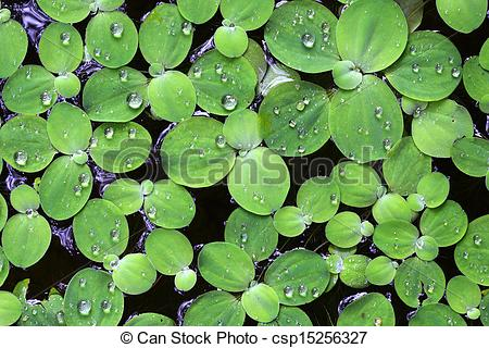 Stock Photo of Water drops on large duckweed csp15256327.
