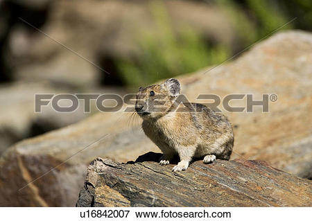 Picture of American Pika (Ochotona princeps) on a rock at Duffey.