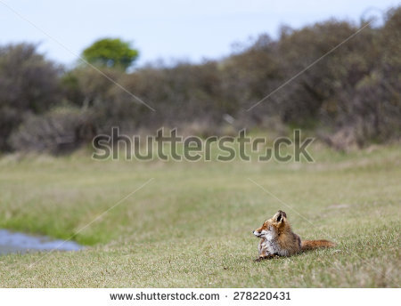 Fox Red Laying Stock Photos, Royalty.