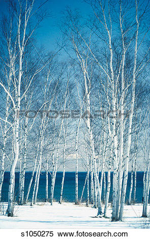 Stock Image of Birch trees on the banks of a lake, Lake Superior.