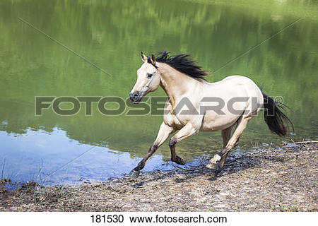Stock Photography of American Quarter Horse. Dun adult galloping.