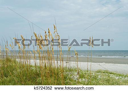 Stock Photo of Sea Oat Grass, Sand Dune, Overlooking Ocean, Hilton.
