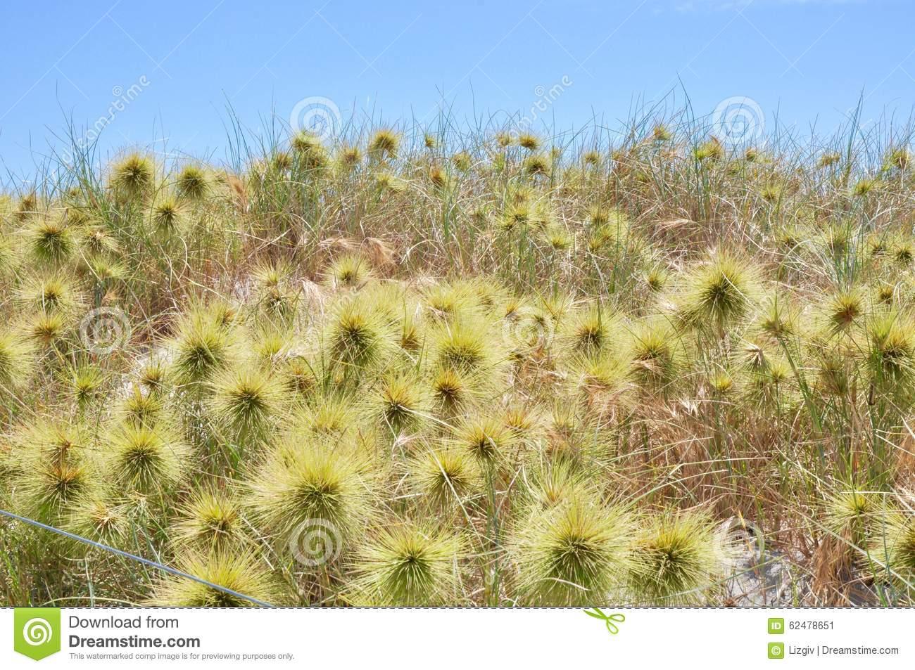 Native Australian Coastal Dune Plants Stock Photo.