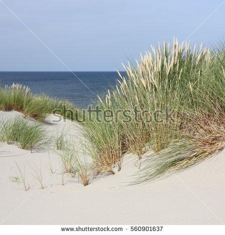 Dune Grass Stock Photos, Royalty.