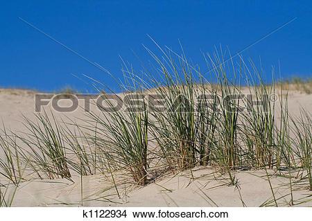 Stock Photo of Beach Grass in sand dunes k1122934.