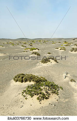 """Stock Photography of """"Sand dunes with sparse vegetation, Skeleton."""