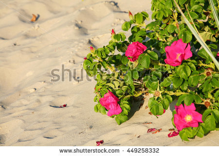 Grows In The Sands Of Beach Dunes Stock Photos, Royalty.