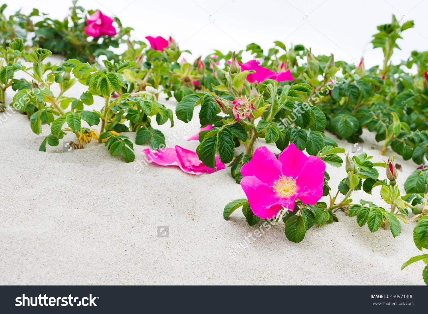 Blooming Rosa Rugosa ( Japanese Rose, Ramanas Rose) On Sandy.