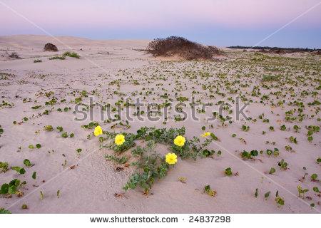 Sand Dune Flower Stock Photos, Royalty.