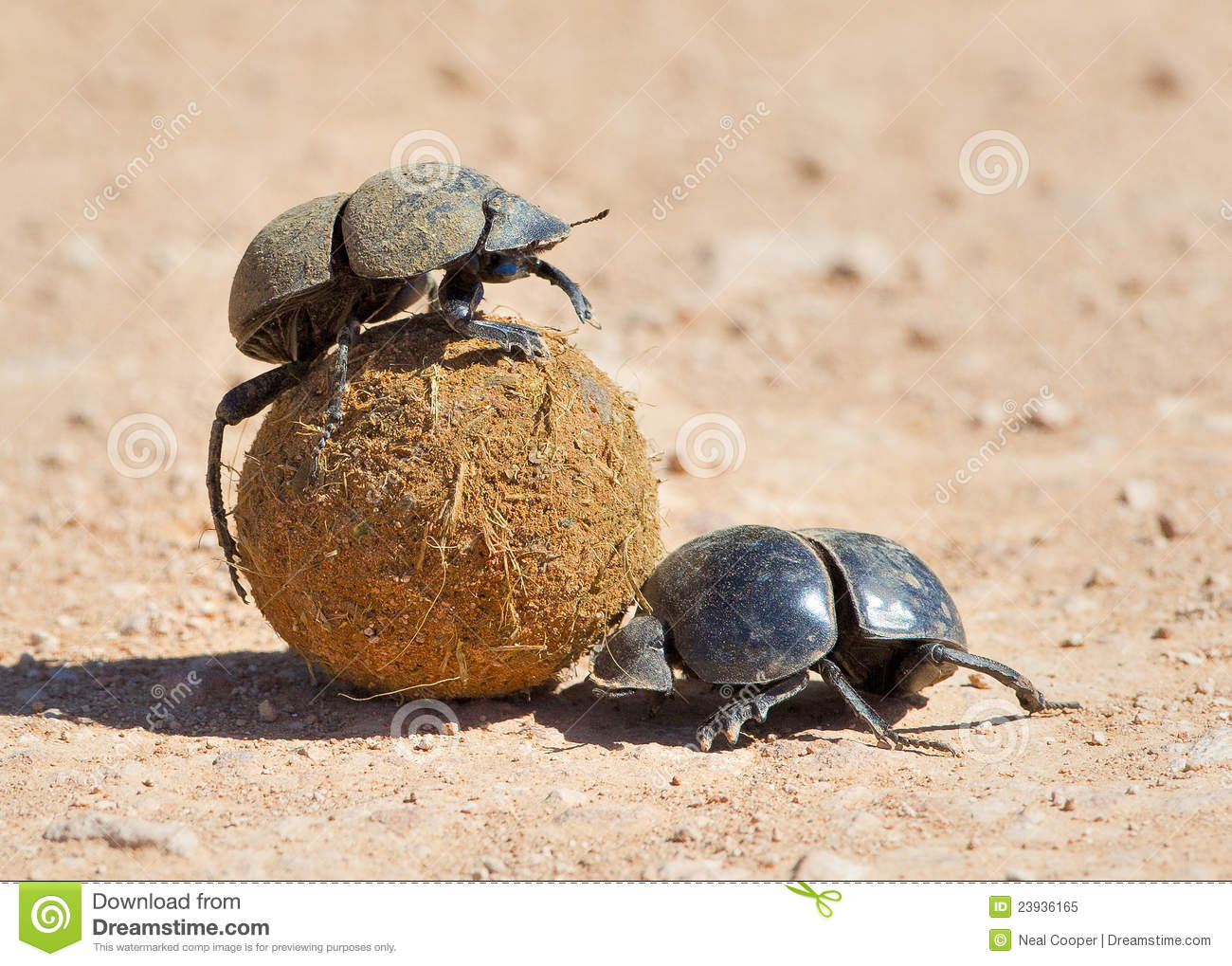 Dung Beetle Royalty Free Stock Photo.