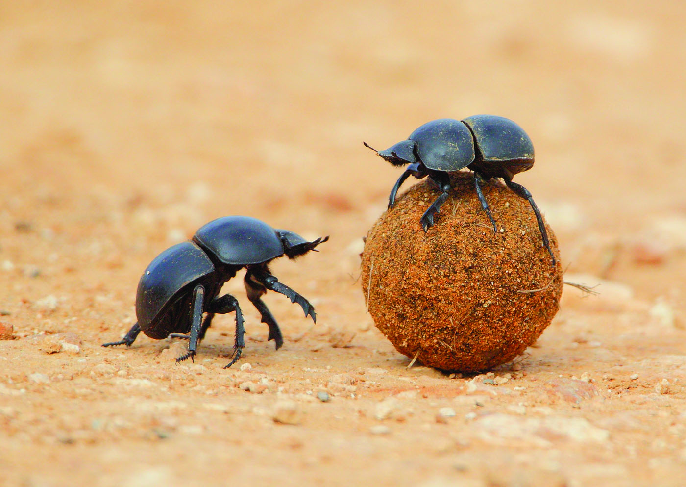 Amazing Animals: Dung Beetles and their Extreme Weaponry.